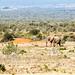 Bush Elephant walking in the field