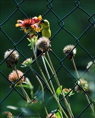 """ Wired ! "" (John Neziol) Tags: jrneziolphotography nikon nikoncamera nikondslr nikond80 nature portrait brantford bokeh beautiful bird bright animal americangoldfinch goldfinch finch garden flower flowers florafauna macro"