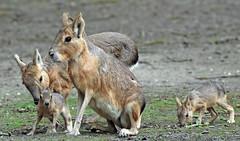 patagonian mara Hoenderdael BB2A8453 (j.a.kok) Tags: mara grotemara patagoniscehaas patagonianmara pampahaas mammal zoogdier dier animal hoenderdaell zuidamerika southamerica