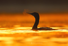 Sunrise this morning (T@hir'S Photography) Tags: cormorant sunrise nature outdoors travel bird animal golden light hour