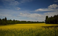 Summer Landscape 15.7.2017 The yellow season. #Finland #Summer (L.Lahtinen (nature photography)) Tags: finland nature naturephotography countryside summer nikond3200 maisema maalaismaisema kesä rypsi rapeseed flowers yellow blue kukat plants suomi luonto taivas clouds larissadatsha kasvit colorful luonnonmaisema rurallandscape country scenery relaxingcolors vibrantcolors europe