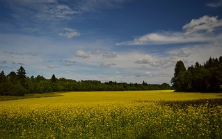 Summer Landscape 15.7.2017 The yellow season. #Finland #Summer