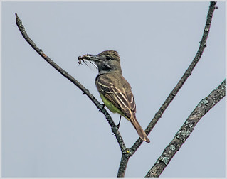 Great Crested Flycatcher with Prey