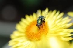 My macro shades on. (TONY VIKLICKY) Tags: tony viklicky d40 nikon dx flower insects backyard gardens green hand held flash photo