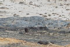 ''Strandwolf' in action (Pim Stouten) Tags: hyena bruinehyena brownhyena strandwolf hyaenabrunnea parahyaenabrunnea schabrackenhyäne