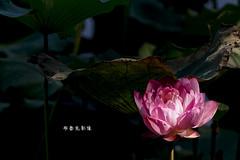 D67_0072 (brook1979) Tags: 植物園 台北市 荷花 花 蓮 蓮花 葉 荷葉 lotus flower