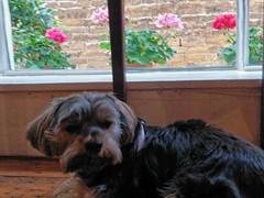 Flo Yorkie Poo Dog at Kavanaghs Tea Room Oakham Rutland (@oakhamuk) Tags: flo yorkiepoo dog kavanaghstearoom oakham rutland