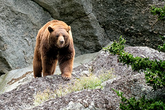 _DSC1609 Black Bear, Smoky Mountains NC (Explore) (Charles Bonham) Tags: grandfathermountain northcarolina blackbear bear animal outdoor mountains sonya7rll sonyfe70200f4goss charlesbonhamphotography foliage smokymountains