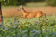 Airborne buck (hvhe1) Tags: wildlife nature animal wild roedeer capreoluscapreolus reh chevreuil wildflower meadow flower fly flight buck hvhe1 hennievanheerden specanimal