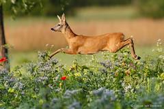 Airborne buck (hvhe1) Tags: wildlife nature animal wild roedeer capreoluscapreolus reh chevreuil wildflower meadow flower fly flight buck hvhe1 hennievanheerden