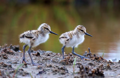 The two chicks (Thy Photography) Tags: americanavocet chick california backyard animal wildlife bird nature photography outdoor