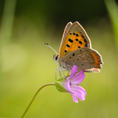 Small copper / Kleine vuurvlinder (Wim Hoek) Tags: nature juni outdoor wildlife 2017 kleinevuurvlinder bulgarije americancopper bulgaria diereninhetwild june lycaenaphlaeas natural naturalbeauty natuur republicofbulgaria commoncopper naturalbackground smallcopper bozhichen ruse bg