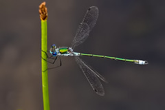 Emerald Damselfly (Lestes sponsa) (DerekL1) Tags: damselfly emeralddamselfly lestessponsa water chasewater staffordshire uk male reeds odonata insect