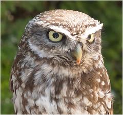 the little owl (kurtwolf303) Tags: littleowl steinkauz bird vogel greifvogel birdofprey raptor nature natur olympusem1 omd microfourthirds micro43 systemcamera mirrorlesscamera spiegellos fauna unlimitedphotos tier animal 250v10f 500v20f topf25 topf50 topf75 750views topf100