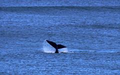 warrnambool whale tail_3597 (gervo1865_2 - LJ Gervasoni) Tags: warrnambool whale logan beach victoria australia lady bay southern ocean sea water splash mammal wildlife warrnamboolweekend right lobtailing slapping
