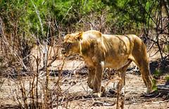 hot Africa (werner boehm *) Tags: wernerboehm botswana africa safari chobenpgamereserve lioness löwin