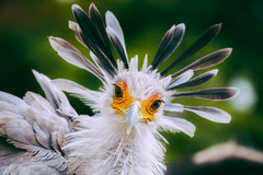 Not a Feather out of Place (Paul E.M.) Tags: secretarybird feathers africa