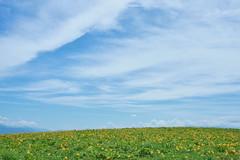 summer of highland (peaceful-jp-scenery (busy)) Tags: kurumayama highland daylily flower 車山高原 ゼンテイカ ニッコウキスゲ 茅野 長野 日本 sony α99ⅱ a99m2 ilca99m2 amount sal2470z variosonnart2470mmf28za carlzeiss