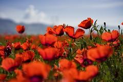 Holycrap (Maluka.X) Tags: plant flower light shadow landscape nature beautiful amazing red green mountain grass xinjiang china summer fire ignite hot beauty sunset sunrise sunlight sunny