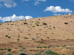 Wild horses in the hills at the end of my street (simonov) Tags: mustangs wild horses northern nevada hiddenvalley virginiarange nv reno