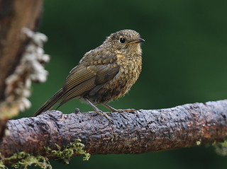 ROBIN....youngster....Powys