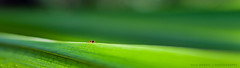 the green way (*Nils aus Kiel*) Tags: green insect leaf nature flower plant ant detail macro panorama panoramic widescreen colors ngc
