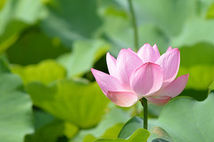 Lotus flower 2017 (Yasuz) Tags: lotus flower ueno park summer 2017 200mm nikon nikondf nikonseriese70210mmf4 nature 蓮 ハス 花 上野 不忍池 東京 自然 green macro 池 夏
