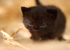 'Trixie' (Jonathan Casey) Tags: black kitten 3 week rescue cat chums catchums norfolk jonathancaseyphotography nikon d810 105mm f28 vr
