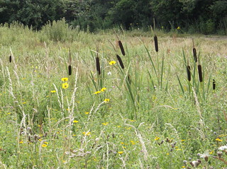 Bullrushes - Pett Level - East Sussex