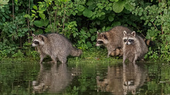 ThreeSiblings (jmishefske) Tags: kits raccoon greenfield 2017 nikon lagoon westallis pond wisconsin park july kids milwaukee cubs county d500