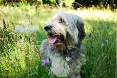 Sunny enjoy! (Rosmarie Wirz) Tags: dog enjoy wildflower meadow summer fullimmersion