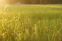 ...sommaräng /..summer meadow (srchedlund) Tags: sommaräng solnedgång summermeadow srchedlund flowers greengrass gröngräs sidelight sidoljus