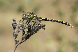 ♀ Onychogomphus uncatus (Charpentier, 1840) .