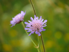 IMG_9248 (germancute) Tags: wildflower nature outdoor blume flower summer sommer wiese