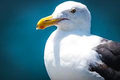 Sea gull portrait (kmanflickr) Tags: flockofseagull beach newport wedge bigma