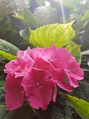 (Iggy Y) Tags: hydrangeamacrophylla hydrangea macrophylla spring blossom flower pink flowers green leaves velelisnahortenzija velelisna hortenzija hortensia nature park garden sunny day light flare