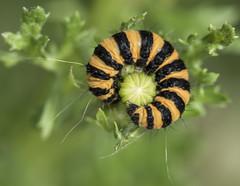 Cinn-moth-cats_1223 copy (Peter Warne-Epping Forest) Tags: review cinnabarmothcaterpillar cinnabar moth larvae larva caterpillar ragwort