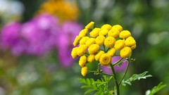 Rainfarn [Explored Jul 28, 2017] (G_E_R_D) Tags: tansy rainfarn flower plant pflanze blume yellow gelb renfana tanaisiecommune