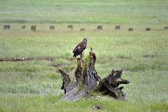 Juvenile Bald Eagle learning to hunt in Stewart, BC (DESPITE STRAIGHT LINES) Tags: nikon d800 nikond800 nikkor2470mm nikon2470mm nikongp1 paulwilliams despitestraightlines flickr gettyimages getty gettyimagesesp despitestraightlinesatgettyimages snow snowcappedmountains snowymountains nature mothernature silence serenity landscape sunlight glacier bearglacier bearglacierbc bearglacierbritishcolumbia bearglacierstewart eagle eagles baldeaglechicks baldeagles