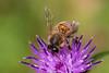 HoneyBee-0009.jpg (vorneo) Tags: classinsecta honeybee kingdomanimalia europeanhoneybee bee familyapidae wild westernhoneybee genusapis phylumarthropoda speciesamellifera binomialnameapismellifera orderhymenoptera