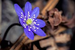 Spring Announcement - _TNY_8616 (Calle Söderberg) Tags: macro canon canon5dmkii canonef100mmf28usmmacro canoneos5dmarkii raynox dcr250 flash meike mk300 glassdiffusor flower blue blåsippa pennywort anemone hepatica liverwort