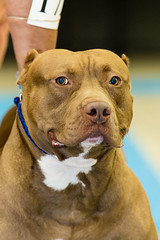 IMG_3361.jpg (Gathering the Light By Wade) Tags: abkc animal bully dog pitbull pitty