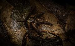 Arbanitis longipes (dustaway) Tags: arthropoda arachnida araneomorphae mygalomorphae idiopidae arbanitis arbanitislongipes trapdoorspider australianspiders night poststorm tamborinemountain mounttamborine sequeensland queensland australia nature natur