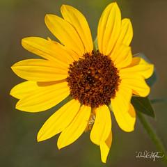 Wild Sunflower (Explored) (dcstep) Tags: canon5dsr ef100400mmf4556lisii englewood colorado unitedstates us f4a1001dxo cherrycreekstatepark canon5dmkiv ef500mmf4lisii allrightsreserved copyright2017davidcstephens dxoopticspro114 sunflower wildflower wildsunflower yellow green brown helianthusannuus commonsunflower explore explored