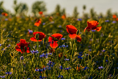 standing in line (ralfkai41) Tags: mohnblumen plants nature poppies outdoor natur cornflowers pflanzen backlight flowers blüten kornblumen feld field blossoms gegenlicht blumen