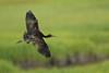 Glossy Ibis in Flight (Mark Schwall) Tags: markschwallphotographycom d500 nikon southernnewjersey nj newjersey heronry rookery wadingbird bird nikkor200500f56vrafs glossyibis plegadisfalcinellus flight bif birdinflight