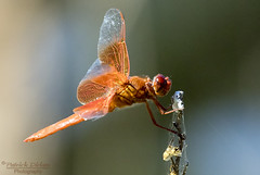 Uninvited guest! -Explore (Patrick Dirlam) Tags: trips bugs flame skimmer explore explored