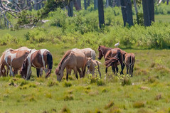 07082017-556-1 (bjf41) Tags: chincoteague horses wild herd colts
