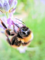 Balancing Bee (seanwalsh4) Tags: honeybee lavender nature pollen nectar hive buzz happy grip bokeh balancingbee 7dwf sundaysfauna brilliant wow