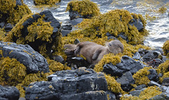 Otter (Cant Beat The Drumm) Tags: otter sleep sea happy smile dream seaweed yellow black rocks comfortable wild wildlife scotland scottish isle mull